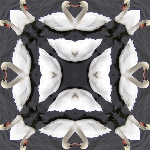 Swans Kissing by ejtumman