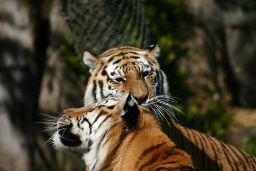 Tiger Love by liparig