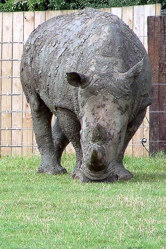 White Rhino by michelle70