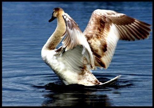 Swim a Swan by seanlad