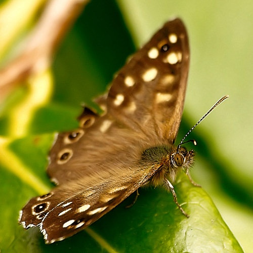 Speckled Wood by brian1208