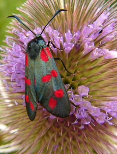 Burnet Moth on Teasel by cal9