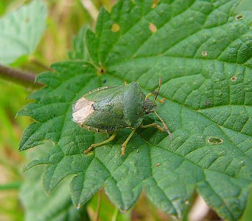 Green Shield Bug by cal9