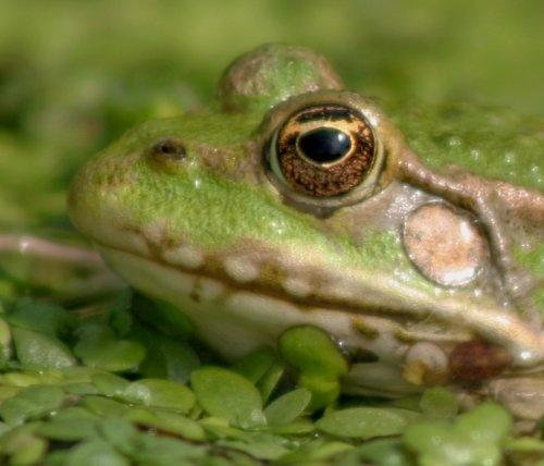 Frog by isotsha