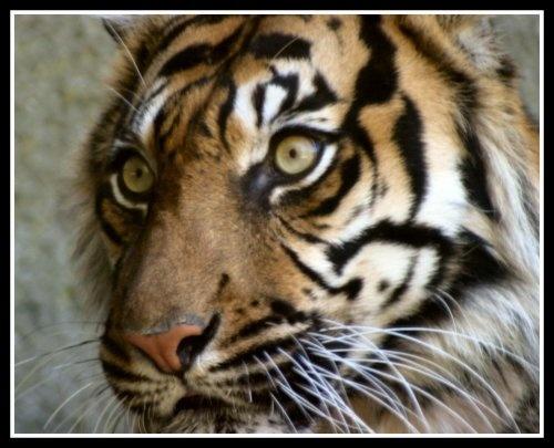 Tiger Tiger by isotsha