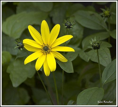 Yellow bloom by deeken