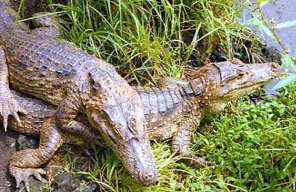 Aligator by angeldani