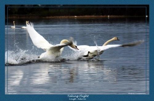 Swans a Flight by seanlad