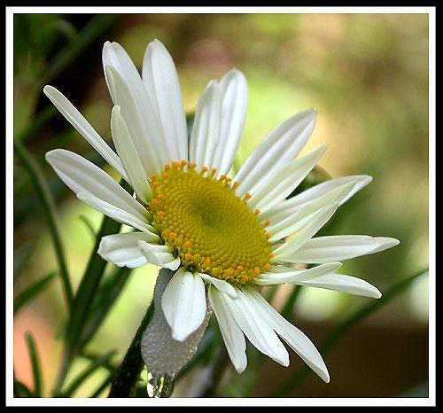 Daisy, daisy .... by naturenut