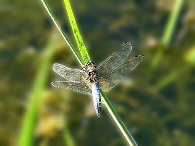 Dragonfly by mandarinkay