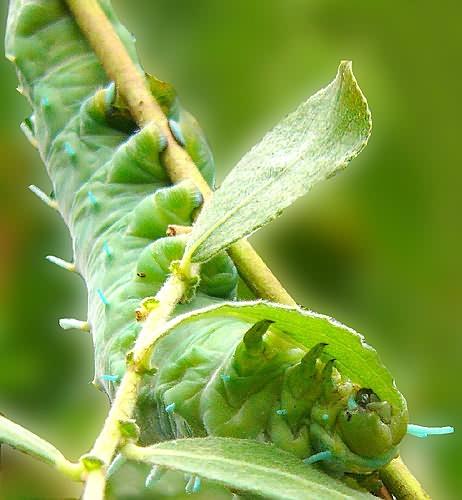 Atlas Moth Caterpillar by cal9