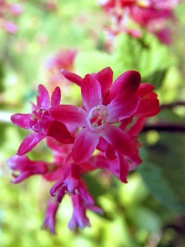 Pink Flower by celtxian