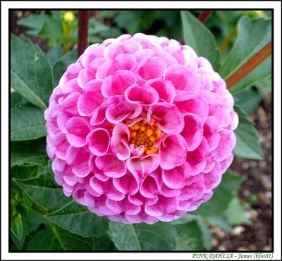 Pink Dahlia by bfot01