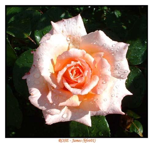 Rose by bfot01