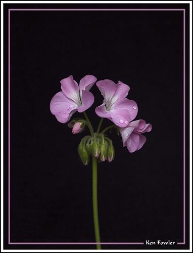 Lonely Geranium by deeken