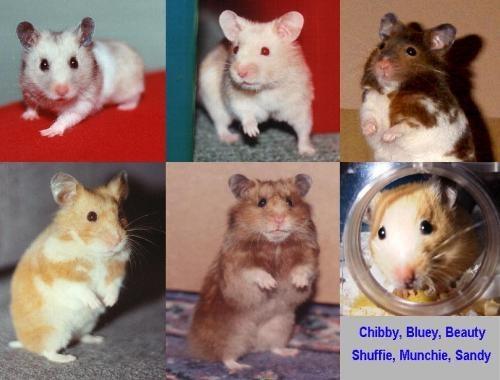 Hamsters by angeldani