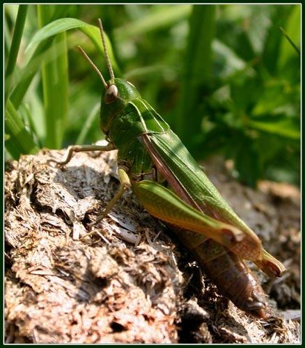 Grasshopper by ian.daisley