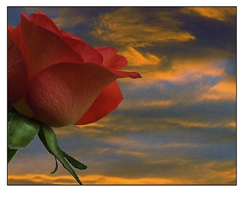 Sun Set Rose by ga1963