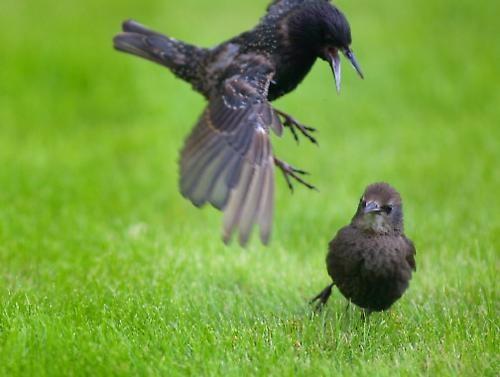 Fighting Birds by bill7