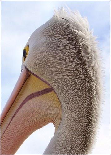 Pelican in Portrait by kjs