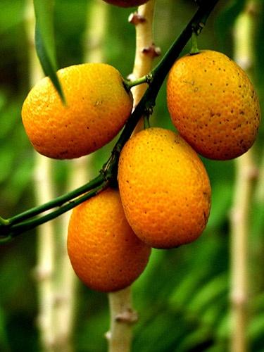 Kumquats by millsjacque