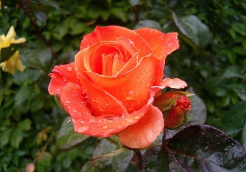Rose after Rain by choosethefinetime