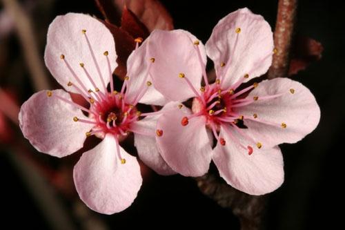 Cherry Blossom 1 by John-LS