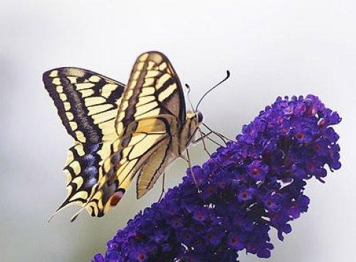 Swallowtail by chris.maddock