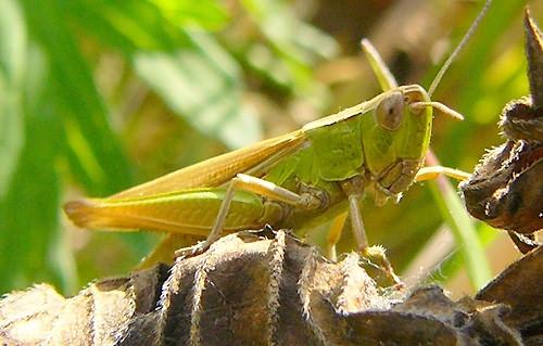 grasshopper by cal9