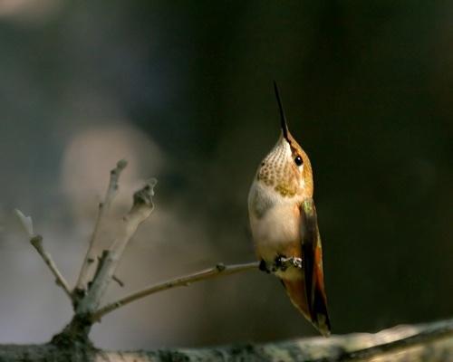 Hummingbird Alert by billma