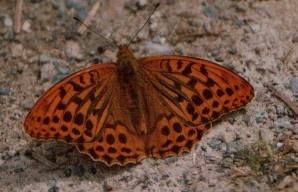 butterfly by faerie