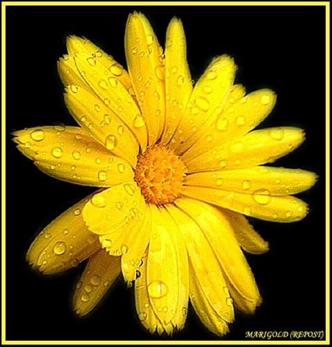 Marigold (Repost) by bfot01