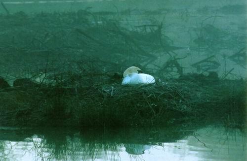 roosting swan by rperry