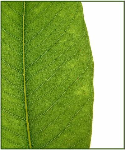 Leaf by delz