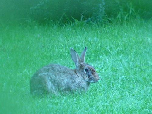 Rabbit in soft focus by ellis rowell