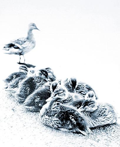 Ducklings by peterkent