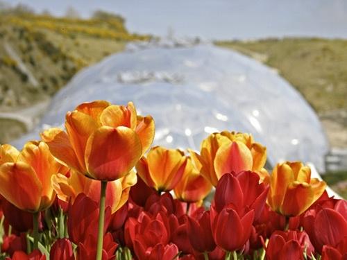 eden tulips by tva