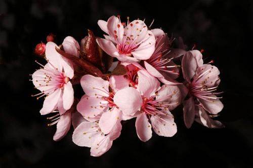 Cherry Blossom 2 by John-LS