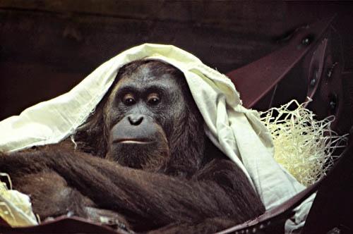 Orangutan by whippetrider