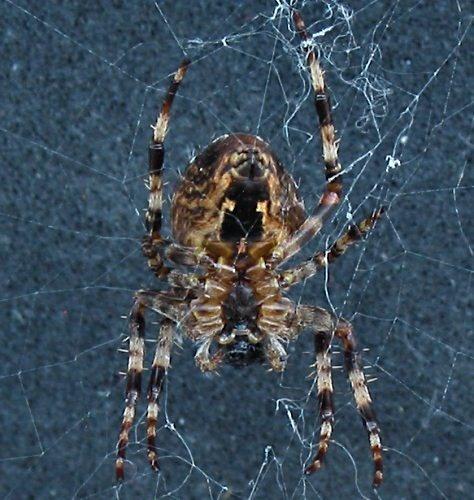 Garden spider by sophiehw