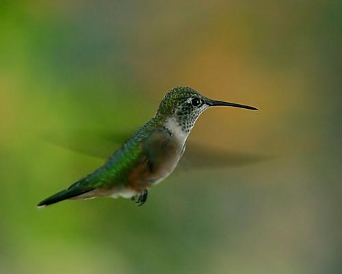 Hummingbird by billma
