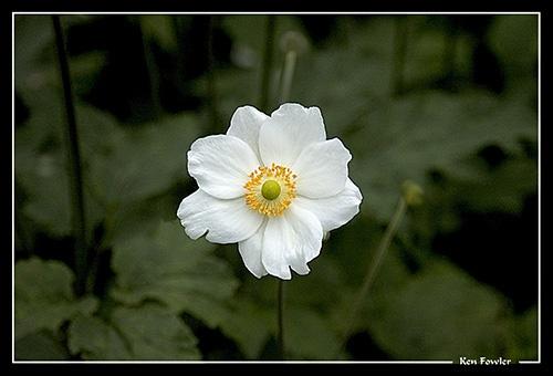 Anemone by deeken