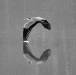 BW heron