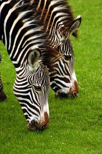 Grevys Zebra by dave knowles