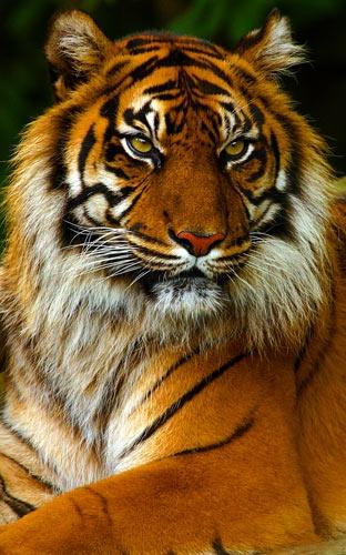Sumatran Tiger by dave knowles