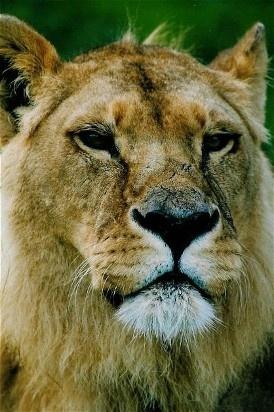Lion portrait by Baz Hilder