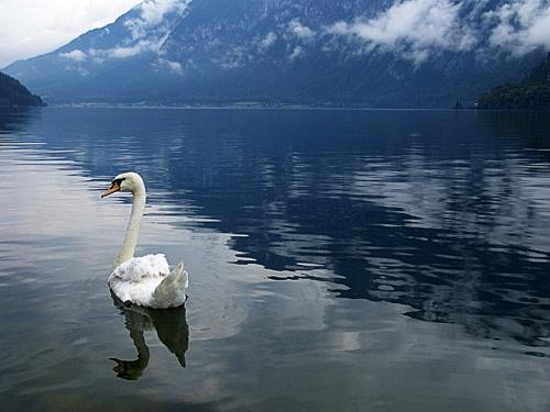 swan by gajewski
