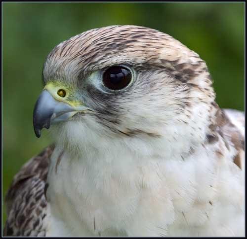 Saker falcon by Rob Freem