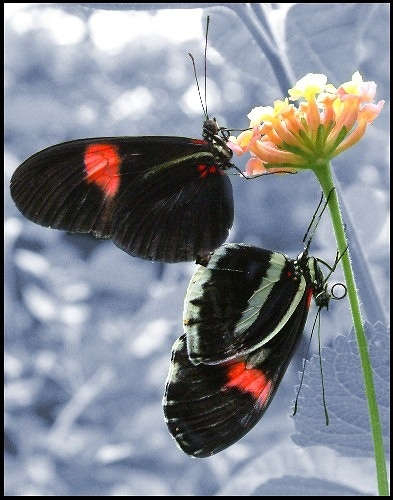 Postman Butterflies by jon1169