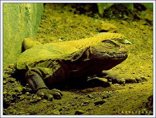 Lazy Lizard by warb